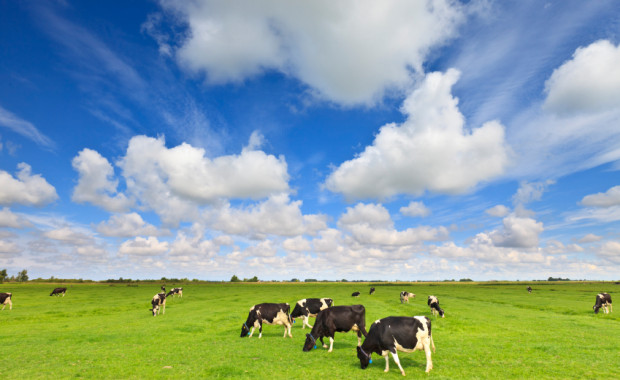 cows grazing in a fresh green field